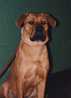 Meg, a Rhodesian Ridgeback cross Mastiff, is one of the largest dog's ...
